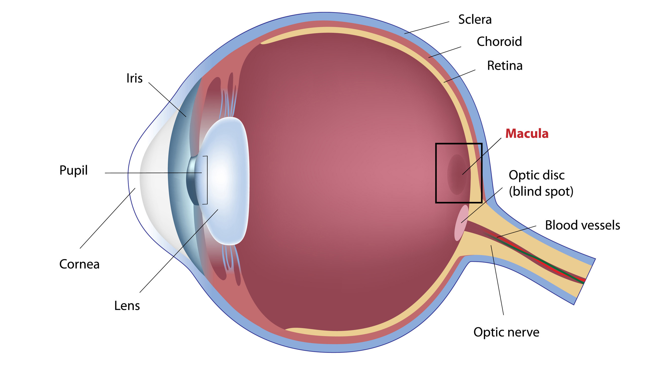 Image of the macula of the eye